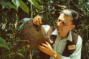 Professor Edward O. Wilson breaking into a Termite (Nasutitermes sp) nest to show how quickly they can repair it, on production for a BBC Natural World film 'The Little Creatures Who Run the World'. T... - Nick Upton