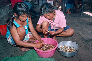 Quechua mother and daughter preparing Palm weevil larvae (Rhynchophorus palmarum) before cooking them as food and to use in medicine, Amazonia, Ecuador. - Nick Upton