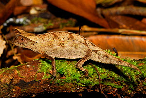 Stump-tailed leaf chameleon (Brookesia superciliaris) Ranomafana National Park, Madagascar. - Enrique Lopez-Tapia