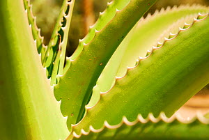 Close up of Sisal (Agave sisalana) Berenty, south Madagascar. - Enrique Lopez-Tapia