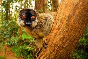Common brown lemur (Eulemur fulvus) in tree. Andasibe-Mantadia National Park. - Enrique Lopez-Tapia