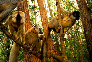 Common brown lemur (Eulemur fulvus) and Red-fronted brown lemurs (Eulemur rufus) in tree, Andasibe-Mantadia National Park, Madagascar. - Enrique Lopez-Tapia