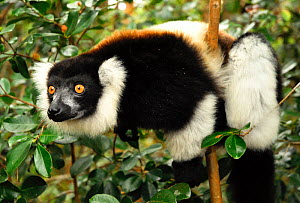 White-belted black and white ruffed lemur (Varecia variegata subcinta). Semi captive on private reserve. Endemic to Madagascar, Critically Endangered species.  -  Enrique Lopez-Tapia