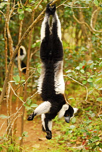 White-belted black and white ruffed lemur (Varecia variegata subcinta) hanging from branch. Semi captive on private reserve. Endemic to Madagascar, Critically Endangered species.  -  Enrique Lopez-Tapia