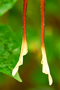 Tails on hind wings of Comet moth (Argema mittrei) Captive, endemic to Madagascar.  -  Enrique Lopez-Tapia