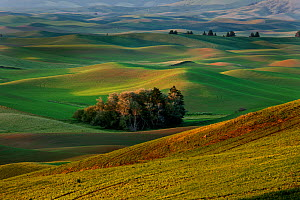 View over Palouse farmland from Steptoe Butte State Park, Whitman County, Washington, USA, June 2014.  -  Kirkendall-Spring