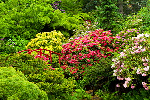 Bridge amongst Rhododendrons (Rhododendron sp) in the formal Kabota Garden, Seattle, USA, May 2014.  -  Kirkendall-Spring