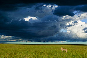 Cheetah (Acinonyx jubatus) female standing below dark storm clouds, Masai-Mara game reserve, Kenya.  -  Denis-Huot