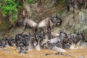 Wildebeest (Connochaetes taurinus) unable to climb steep bank after swimming across Mara river during migration, Masai-Mara game reserve, Kenya.  -  Denis-Huot