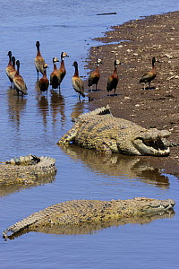 Nile crocodiles (Crocodylus niloticus) and White-faced whistling-ducks (Dendrocygna viduata) at edge of water, Mara river, Masai-Mara game reserve, Kenya.  -  Denis-Huot