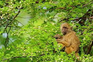 Olive baboon (Papio anubis) feeding in Acacia tree after the rains, Meru National Park, Kenya.  -  Denis-Huot