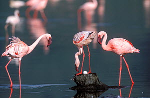 Lesser flamingos (Phoeniconaias minor) on Lake Nakuru, one on nest with egg, Kenya. - Denis-Huot