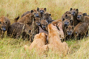 Two Lionesses (Panthera leo) trying to defend kill from large pack of Spotted hyaenas (Crocuta crocuta) Masai-Mara game reserve, Kenya. - Denis-Huot