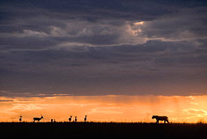 Lioness (Panthera leo) and Thomson's gazelles (Eudorcas thomsonii) silhouetted at sunset, Masai-Mara game reserve, Kenya. - Denis-Huot