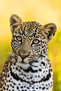 Leopard (Panthera pardus) portrait of young male, Masai-Mara game reserve, Kenya.  -  Denis-Huot