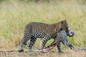 Leopard (Panthera pardus) female carrying dead cub killed by a male, Masai-Mara game reserve, Kenya. - Denis-Huot