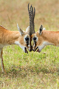 Two male Thomson's gazelles (Eudorcas thomsonii) fighting, Masai-Mara game reserve, Kenya.  -  Denis-Huot