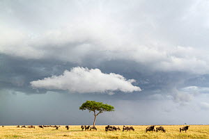 Wildebeest (Connochaetes taurinus) herd below stormy sky during migration, Masai-Mara game reserve, Kenya.  -  Denis-Huot