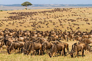 Wildebeest (Connochaetes taurinus) herd migrating, Masai-Mara game reserve, Kenya. - Denis-Huot