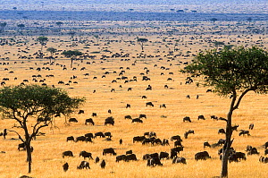 Wildebeest (Connochaetes taurinus) herd in savanna during migration, Masai-Mara game reserve, Kenya. - Denis-Huot
