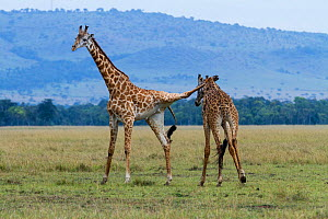 Masai giraffe (Giraffa camelopardalis tippelskirchi) males fighting, one with hind leg over the neck of the other. Masai-Mara game reserve, Kenya.  -  Denis-Huot