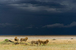 Coalition of male Lions (Panthera leo) in grassland before storm, Masai-Mara game reserve, Kenya.  -  Denis-Huot