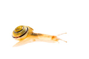 White-lipped snail (Cepaea hortensis) Maine-et-Loire, France, September, meetyourneighbours.net project - MYN / Marc Pihet