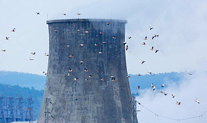 Great white pelican (Pelecanus onocrotalus) flock in flight past cooling tower, Shumen, Bulgaria, April. - Juan  Carlos Munoz