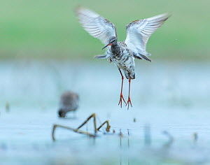 Spotted redshank (Tringa erythropus) taking off, Shumen, Bulgaria, April. - Juan  Carlos Munoz