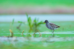 Spotted redshank (Tringa erythropus) on water, Shumen, Bulgaria, April. - Juan  Carlos Munoz