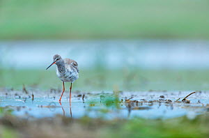 Spotted redshank (Tringa erythropus) in wetland, Shumen, Bulgaria, April. - Juan  Carlos Munoz