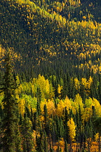 Autumnal forest, with Quaking Apsen (Populus tremuloides) Dome Hill, fringing the Dempster Highway, Yukon Territories, Canada, September 2013.  -  David Noton