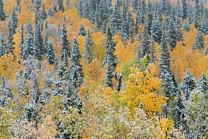 Quaking aspen trees (Populus tremuloides) and conifers with dusting of snow, Dome Hill above Dawson City, Yukon Territories, Canada, September 2013.  -  David Noton