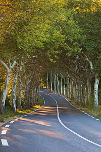 Avenue of Plane trees (Platanus) on a road near Soreze, Tarn, Languedoc, France, September 2012. - David Noton