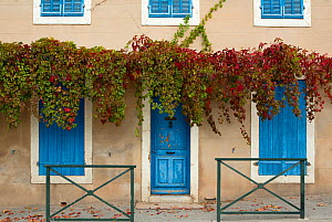 Blue doorway with Grape vines (Vitis) Puyloubier, Var, Provence, France, October 2012.  -  David Noton