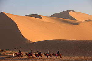 Tourists riding Bactrian camels (Camelus bactrianus) through sandy desert, following the silk road route through Gansu Province, China, September 2011. - Aflo