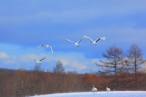 Japanese cranes (Grus japonensis) four in flight, two on snowy gruond, Tsurui, Hokkaido, Japan. December. - Aflo