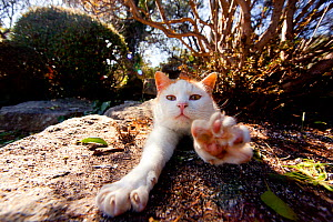 Cat stretching forward whilst sunbathing,  Hofu, Yamaguchi, Japan. - Aflo