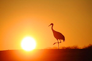 Red crowned crane (Grus japonensis) with one foot in the air at sunset, Tsurui, Hokkaido, Japan. January. - Aflo