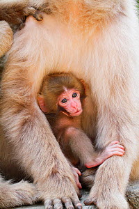Japanese macaque (Macaca fuscata) baby clinging to mother, Jigokudani Monkey Park, Japan. April. - Aflo