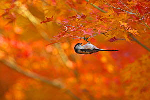 Long-tailed tit (Aegithalos caudatus) hanging upside down from branch in autumn, Japan. December. - Aflo