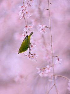Japanese White eye (Zosterops japonicus) in cherry tree, Kyoto, Japan. March. - Aflo