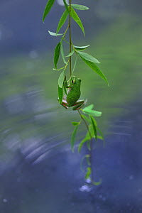 Japanese tree frog (Hyla japonica) climbing weeping willow tree out of water. Kyoto, Honshu, Japan. June. - Aflo