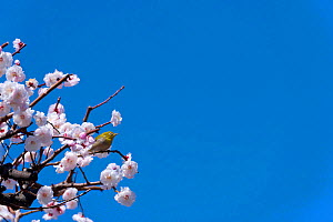 Japanese white eye (Zosterops japonicus) in flowering cherry   tree, Kanto, Japan. March. - Aflo