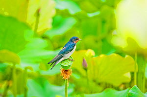 Barn swallow (Hirundo rustica) resting on Lotus (Nelumbo nucifera) seed head, Haga District, Japan. July. - Aflo