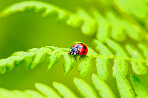 Seven spotted ladybird (Coccinella septempunctata) on fern, Tochigi Prefecture, Japan, May. - Aflo