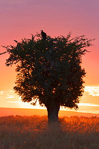 Lappet face vulture (Torgos tracheliotos) in tree at sunset, Kenya.  -  Aflo