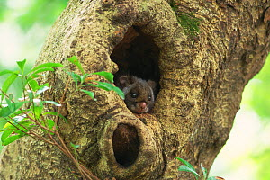 Japanese flying squirrel (Petaurista leucogenys) in tree hole, Kyoto, Japan. March. - Aflo
