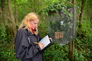 Lorna Griffiths of Nottinghamshire Wildlife Trust recording details of the Hazel dormice (Muscardinus avellanarius) that have been introduced to a 'soft release' cage in nest boxes within an ancient c...  -  Nick Upton