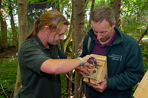 Clare Stalford of the Wildwood Trust removing wire mesh from the entrance hole of a nest box containing a pair of Hazel dormice (Muscardinus avellanarius), held by Ian White, Dormouse officer for the... - Nick Upton